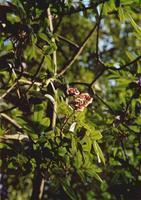 花梨木-种苗展示