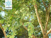 海南榄仁-种苗展示