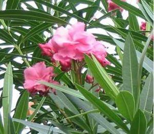 夹竹桃-种苗展示