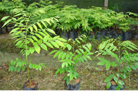 求购花梨小苗10株-林木良种